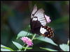 Click here to enter Orchard Swallowtail photo gallery