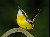Click here to enter gallery and see photos of: Yellow-breasted Boatbill