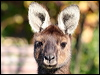 Click here to enter Western Grey Kangaroo photo gallery