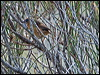 Click here to enter Southern Emuwren photo gallery