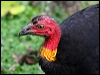 Click here to enter gallery and see photos of Brush Turkey, Scrub-fowl