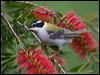 Click here to enter Black-chinned Honeyeater photo gallery