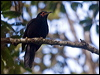 Click here to enter Crow Honeyeater photo gallery