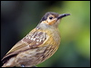 Click here to enter Macleay's Honeyeater photo gallery