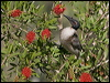 Click here to enter Noisy Friarbird photo gallery
