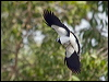 Click here to enter  Magpie-lark photo gallery