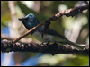 Click here to enter Melanesian Flycatcher photo gallery