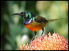 Click here to enter gallery and see photos of: Plain, Brown-throated, Ruby-cheeked, Orange-breasted, Olive-backed, Loten's, Malachite and Black-throated Sunbirds; Grey-breasted, Bornean and Streaked Spiderhunters.