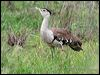 Click here to enter gallery and see photos of: Kori, Australian Bustard