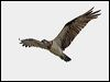 Click here to enter gallery and see photos of: Western and Eastern Ospreys