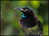 Click here to enter Victoria's Riflebird photo gallery