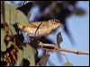 Click here to enter Red-browed Pardalote photo gallery