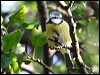 Click here to enter gallery and see photos of: Black-capped and Mountain Chickadee; Willow, Coal, Great, Blue and Long-tailed Tit; Oak Titmouse; Bushtit.