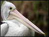 Click here to enter gallery and see photos of: Great White, Australian, American White, Brown, Peruvian Pelican