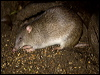 Click here to enter gallery and see photos of: Northern Brown Bandicoot