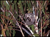 Click here to enter Sugar Glider photo gallery