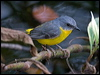 Click here to enter Eastern Yellow Robin photo gallery