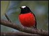Click here to enter gallery and see photos of: White-browed, Buff-sided, Grey-headed, White-faced, Pale-yellow, Eastern Yellow, Yellow-bellied, Mangrove, Hooded, Dusky, Pacific, Scarlet, Red-capped, Pink, Rose and Flame Robins; Jacky Winter; Lemon-bellied and Yellow-legged Flycatchers; Northern Scrub-Robin; Tomtit.
