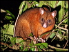 Click here to enter gallery and see photos of: Brush-tailed Possum