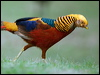Click here to enter Golden Pheasant photo gallery