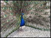 Click here to enter Indian Peafowl photo gallery