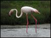 Click here to enter gallery and see photos of: Greater Flamingo