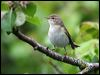 Click here to enter gallery and see photos of: Willow Warbler, Common Chiffchaff.