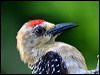 Click here to enter gallery and see photos of: Speckled Piculet, Acorn, Black-cheeked, Red-crowned, Yellow-crowned, Nuttall's, Downy, Hairy, White-headed, Eurasian Three-toed, Black-backed, Golden-green, Pileated, Black, Crimson-crested, Laced, Maroon, Orange-backed and Buff-rumped Woodpeckers; Red-breasted Sapsucker; Northern Flicker; Common, Black-rumped and Greater Flamebacks