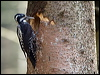 Click here to enter Three-toed Woodpecker photo gallery