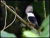 Click here to enter gallery and see photos of: White-bearded Manakin