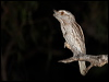 Click here to enter Tawny Frogmouth photo gallery