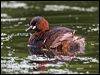 Click here to enter Little Grebe photo gallery