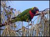 Click here to enter Coconut Lorikeet photo gallery