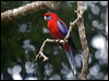 Click here to enter Crimson Rosella photo gallery
