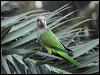 Click here to enter Monk Parakeet photo gallery