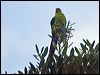 Click here to enter New Caledonian Parakeet photo gallery