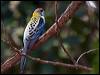 Click here to enter Pale-headed Rosella photo gallery