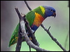 Click here to enter Rainbow Lorikeet photo gallery