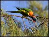 Click here to enter Red-collared Lorikeet photo gallery