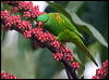 Click here to enter Scaly-breasted Lorikeet photo gallery