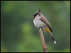 Click here to enter gallery and see photos of: Straw-headed, Striated, Black-crested, Red-whiskered, Light-vented, Cape, Himalayan, Red-evented, Red-eyed, Ochraceous, Ashy and Mountain Bulbuls.