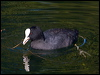 Click here to enter Common Coot photo gallery