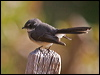 Click here to enter Grey Fantail photo gallery