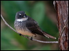 Click here to enter Northern Fantail photo gallery