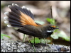 Click here to enter gallery and see photos of: White-throated, Pied, Northern, Mangrove Grey, Grey, Streaked, Rufous and Arafura Fantails; Willie-Wagtail