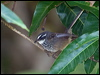 Click here to enter Streaked Fantail photo gallery