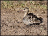 Click here to enter Little Curlew photo gallery