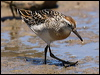 Click here to enter Long-toed Stint photo gallery