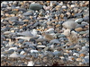 Click here to enter Little Tern photo gallery
