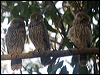 Click here to enter Barking Owl photo gallery